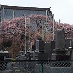 樹齢400年以上!般若院で雨の枝垂れ桜。