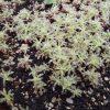 こぼれた種からコキアが大量に発芽!
