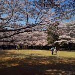 龍ケ崎 桜コレクション 2018